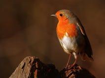 De vogel van Robin in zonsondergang stock afbeeldingen