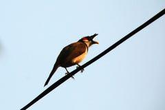 De vogel van rood-Whishkered Bulbul Stock Foto