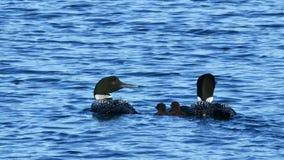 De Vogel van de Staat van Minnesota, Gemeenschappelijke duikerfamilie stock video
