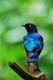 De Vogel van Starling Stock Afbeelding