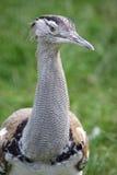 De vogel van Sunbittern stock foto