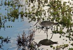 De Vogel van Willet Royalty-vrije Stock Foto's