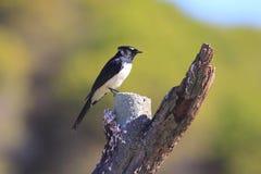De vogel van Willie Wagtail op droge boomstam Royalty-vrije Stock Foto's
