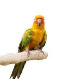 De Vogel van zonconure Stock Foto