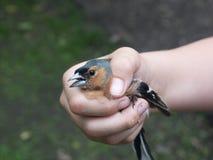 De vogel ving maar klaar om worden bevrijd Stock Foto
