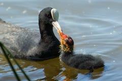 De vogel voedt het kuiken royalty-vrije stock afbeelding