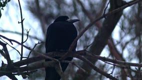 De vogel zit op een Naakte Takkenboom, de Winter, Koud Weer stock videobeelden