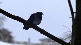 De vogel zit op een Naakte Takkenboom, de Winter, Koud Weer stock video