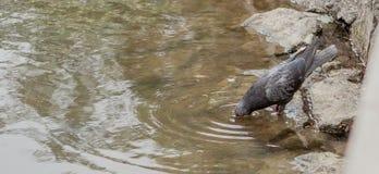 De vogelduif bevindt zich en drinkt water van het meer royalty-vrije stock afbeelding