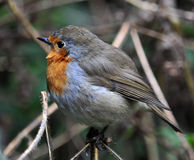 De vogelfamilie flycatchers_6 van Robin Royalty-vrije Stock Afbeelding