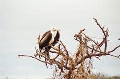 De vogelkuiken van het Fregat van de Galapagos stock foto