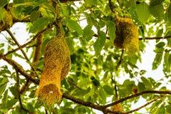 De vogelnest van de Bayawever op tak van de boom Stock Fotografie