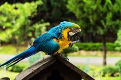 De vogelportret van de Maccowpapegaai Stock Afbeeldingen