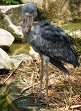 De vogelportret van Shoebill Stock Fotografie