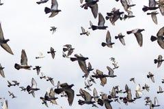 De vogels die van massa'sduiven in de blauwe hemel vliegen Stock Foto's