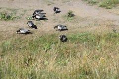 De vogels eten samen in het gras stock foto