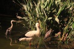 De vogels in het meer stock foto