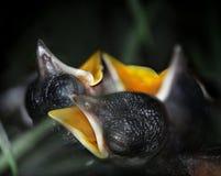 De vogels van de baby Stock Foto