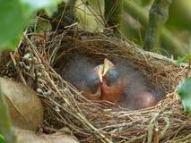 De Vogels van de baby in een Nest Royalty-vrije Stock Afbeeldingen