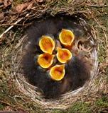 De vogels van de baby in nest Stock Foto