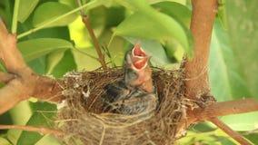 De Vogels van de baby in Nest stock video