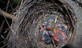 De Vogels van de baby in Nest Stock Foto's