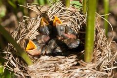 De Vogels van de baby in Nest Royalty-vrije Stock Afbeelding