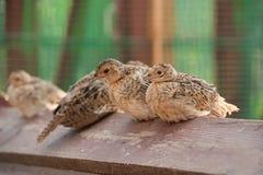 De vogels van de baby van een fazant Stock Afbeeldingen