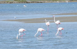 De vogels van de flamingo in Camargue Stock Foto's