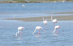 De vogels van de flamingo in Camargue Stock Foto's