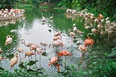 De vogels van de flamingo in de vijver Stock Foto's