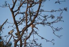 De vogels van de ibis die in boom tegen blauwe hemel worden neergestreken Royalty-vrije Stock Foto
