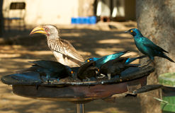De vogels van de lunchtijd Stock Afbeelding