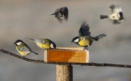 De vogels van de mees stock foto's