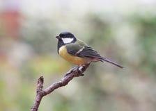 De Vogels van de tuin - Koolmees royalty-vrije stock afbeeldingen