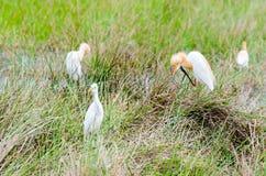 De vogels van de veeaigrette stock afbeeldingen