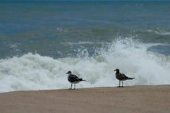 De vogels van de zandpijper Stock Foto