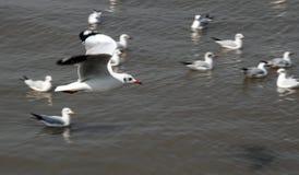 De Vogels van de zeemeeuw Stock Foto's