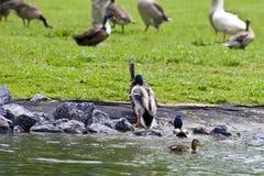 De Vogels van het park Stock Foto's