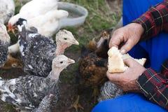 De vogels van het voer op een landbouwbedrijf Stock Afbeelding