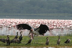 De vogels van Kenia Royalty-vrije Stock Fotografie
