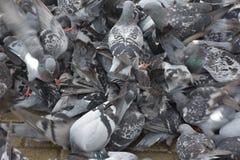De vogels van massa'sduiven het vliegen Royalty-vrije Stock Fotografie