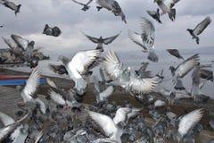 De vogels van massa'sduiven het vliegen Stock Fotografie