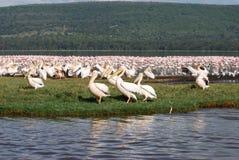 De Vogels van Nakuru stock afbeelding
