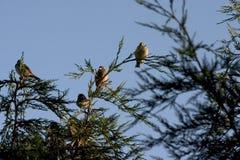 De vogels van Roosting Stock Afbeeldingen