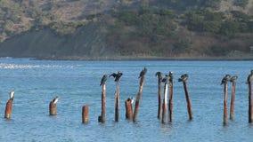 De vogels zitten op de stokken in het water stock videobeelden
