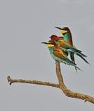 De vogelsfamilie van de regenboog Stock Afbeelding