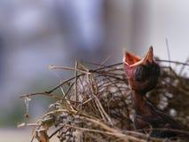 De Vogelslaap van de babyvin in het Nest stock afbeeldingen