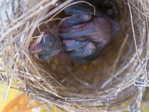 De Vogelslaap van de babyvin in het Nest royalty-vrije stock foto's