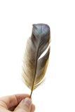De vogelveer van de holding op wit Stock Fotografie